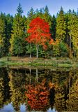 Il vasto acero variopinto dell'albero della foglia probabilmente ha riflesso sulla superficie dell'acqua all'autunno/alla luce de immagini stock libere da diritti