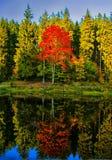 Il vasto acero variopinto dell'albero della foglia probabilmente ha riflesso sulla superficie dell'acqua all'autunno/alla luce de fotografie stock