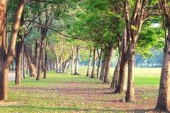 Il vecchi grandi albero e tramonto in parco Fotografia Stock Libera da Diritti
