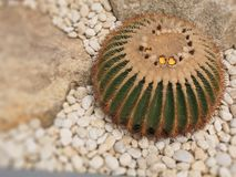 Il vecchio albero del cactus della palla nel giardino immagini stock