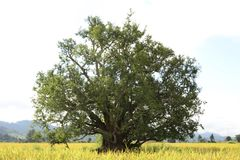 Il vecchio albero di tamarindo Immagini Stock