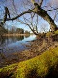 Il vecchio albero durante la pletora di fiume di Neman in primavera Immagine Stock