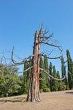 Il vecchio albero guasto Fotografie Stock Libere da Diritti