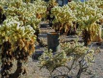 Il vecchio barilotto può arrugginendo sulla terra fra il cactus di salto nel deserto dell'Arizona nella città abbandonata di estr Immagini Stock