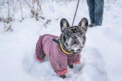 Il vecchio carlino cammina nella neve con il suo padrone Cane in un cappotto di inverno nell'inverno fotografia stock libera da diritti