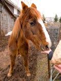 Il vecchio cavallo si è alimentato a mano Immagini Stock Libere da Diritti
