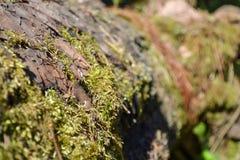 Il vecchio ceppo è coperto di muschio Fotografia Stock