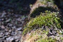 Il vecchio ceppo è coperto di muschio Fotografie Stock