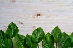 Il vecchio fondo di legno bianco con la bella hosta fresca va Modello d'annata Vista superiore Disposizione piana Immagine Stock