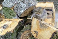 Il vecchio gatto riposa al sole Fotografia Stock Libera da Diritti