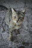 Il vecchio gatto sembra essere sguardo malato prudentemente immagine stock