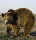 Il vecchio orso Fotografia Stock