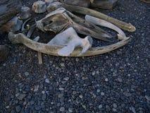 Il vecchio osso petrificato rimane a Stokksness immagini stock