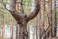 Il vecchio pino curvato in una foresta di conifere dopo avere beeing tagliato è cresciuto tronchi in tre di albero Immagini Stock Libere da Diritti