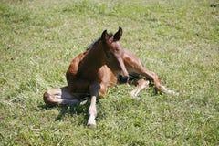 Il vecchio puledro di poche settimane riposa sul campo verde Fotografie Stock Libere da Diritti