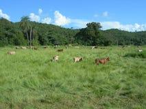 Il Venezuela, bestiame Immagini Stock Libere da Diritti