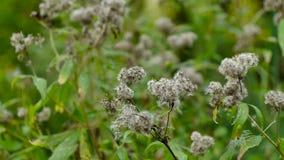 Il vento fruscia la pianta con il seme bianco stock footage