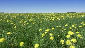 Il vento oscilla i denti di leone gialli nel campo nel giorno soleggiato dell'estate La macchina fotografica si muove attraverso  archivi video