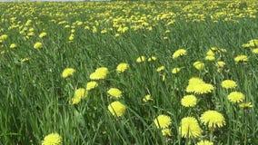 Il vento oscilla i denti di leone gialli nel campo nel giorno soleggiato dell'estate La macchina fotografica si muove attraverso  video d archivio
