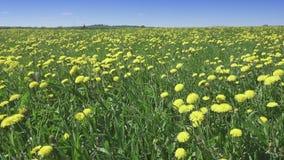 Il vento oscilla i denti di leone gialli nel campo nel giorno soleggiato dell'estate La macchina fotografica si muove attraverso  stock footage