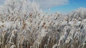 Il vento scuote il phragmites australis innevato, fine su Si sviluppa vicino all'acqua Orario invernale archivi video