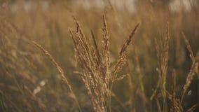 Il vento sta giocando con le erbe Onda dell'erba verde su vento, sole di estate La pianta selvatica sta ballando sul vento dell'e archivi video