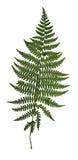 Il verde asciutto ha premuto la foglia delle foglie urgenti isolate felce su bianco fotografia stock libera da diritti
