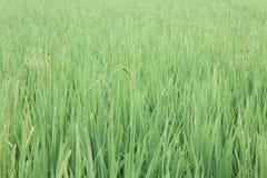 Il verde della foglia del riso Fotografia Stock