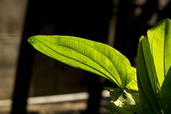 Il verde delle foglie, il sole splende da parte a parte immagini stock libere da diritti