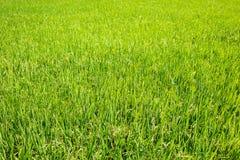 Il verde di riso lascia nel giacimento del risone Fotografie Stock