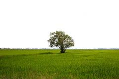 Il verde di riso lascia nel giacimento del risone Su fondo bianco Immagini Stock Libere da Diritti