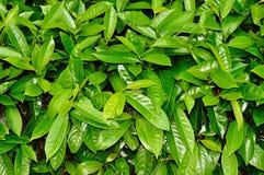 Foglie di verde Immagini Stock