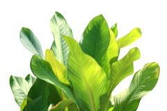 Il verde fresco della foglia tropicale, foglie che tropicali la natura ha isolato il fondo bianco per le decorazioni fa il giardi fotografia stock libera da diritti