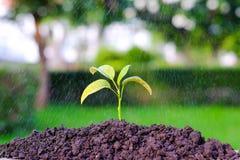 Il verde germoglia nella pioggia su un giardino, crescita della pianta di innaffiatura Immagine Stock
