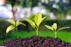Il verde germoglia nella pioggia su un giardino, innaffiante la crescita della plantula Fotografie Stock Libere da Diritti