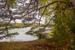 Il verde giallo Autumn Forest attraverso il pino si ramifica vicino al lago Fotografie Stock