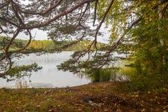 Il verde giallo Autumn Forest attraverso il pino si ramifica vicino al lago Fotografia Stock Libera da Diritti