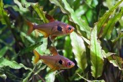 Il verde ha piantato il carro armato d'acqua dolce dell'acquario con i tetra pesci Immagini Stock Libere da Diritti