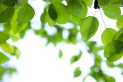 Il verde lascia il bordo. Pera Fotografie Stock