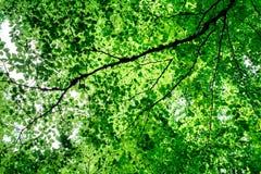 il verde lascia l'albero Immagini Stock