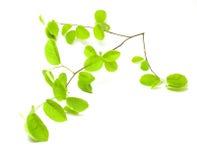 Il verde lascia la filiale Fotografia Stock