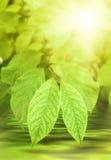 Il verde lascia la luce solare immagini stock libere da diritti