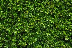 Il verde lascia la parete fotografie stock