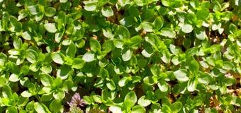Il verde lascia la priorità bassa del primo piano Fotografia Stock