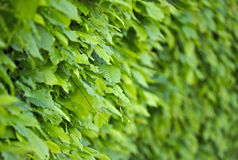 Il verde lascia la priorità bassa della parete Immagine Stock
