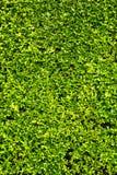 Il verde lascia la priorità bassa della parete Fotografia Stock Libera da Diritti