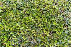 Il verde lascia la priorità bassa della parete Immagine Stock Libera da Diritti