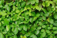 Il verde lascia la priorità bassa della parete Fotografie Stock Libere da Diritti