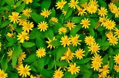 Il verde lascia la priorità bassa ed i fiori gialli Fotografia Stock