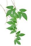 Il verde palmately va con i viticci ed i rami secchi di selvaggio Immagini Stock Libere da Diritti